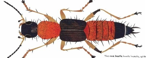 Rove Beetle-The Beetle Book