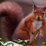 Red Squirrel via The Telegraph
